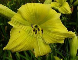 Thumb of 2013-07-22/daylily/be0657