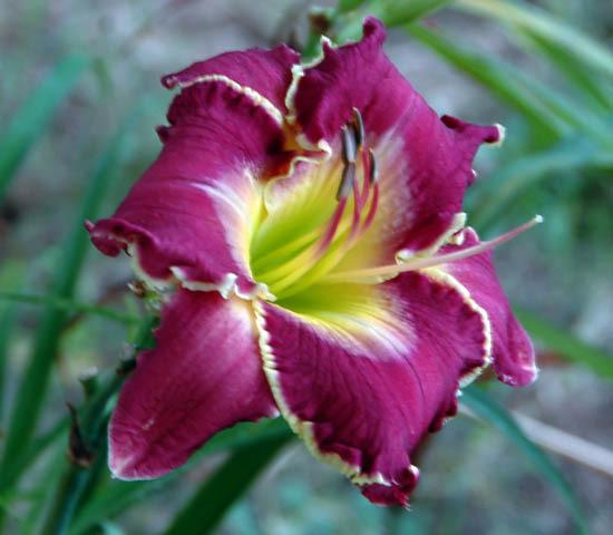 Photo of Daylily (Hemerocallis 'Jeanne Deaver's Dream') uploaded by shive1