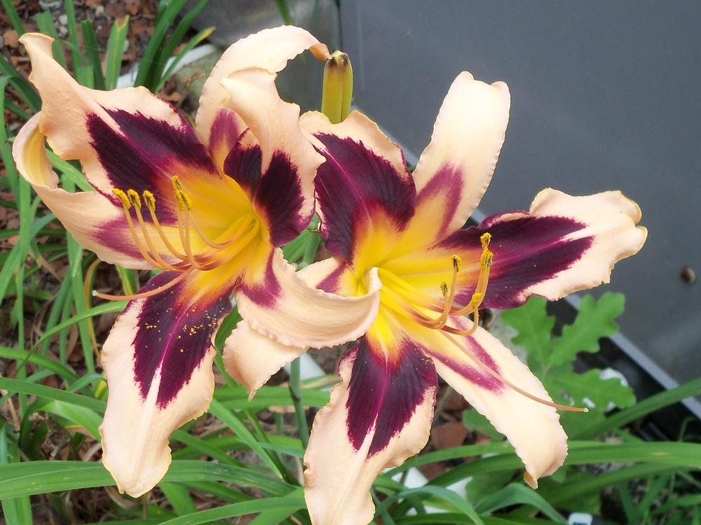 Photo of Daylily (Hemerocallis 'Egyptian Queen') uploaded by virginiarose