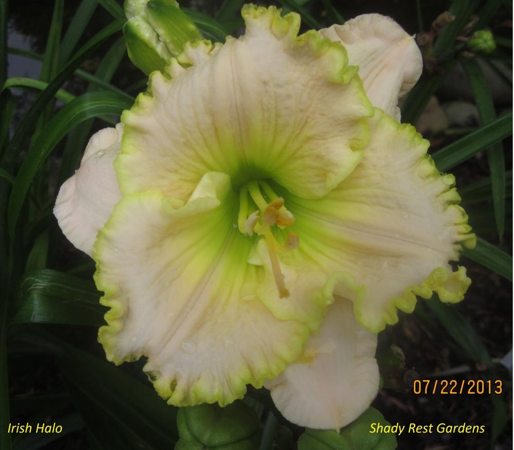 Photo of Daylily (Hemerocallis 'Irish Halo') uploaded by Casshigh