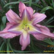 Location: Shady Rest Gardens  Cartersville, GADate: 2013-07-23Rebloom
