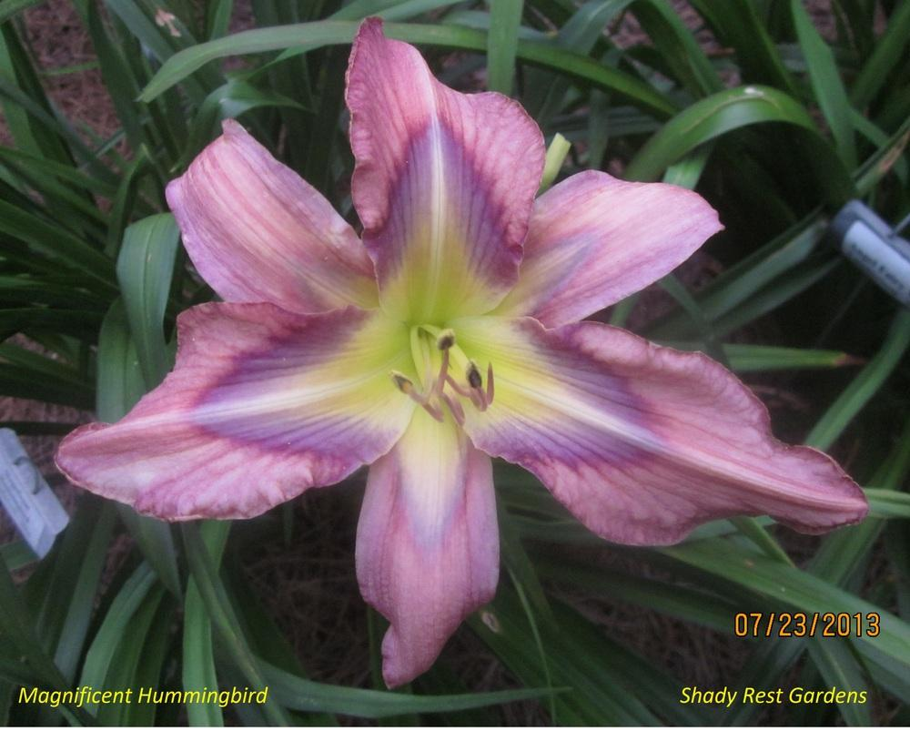Photo of Daylily (Hemerocallis 'Magnificent Hummingbird') uploaded by Casshigh