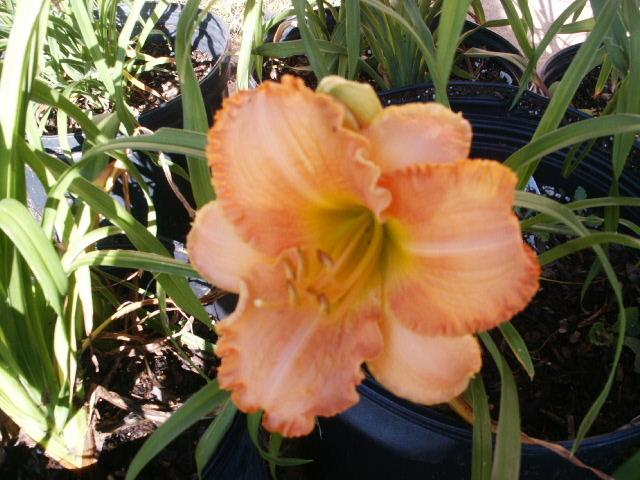 Photo of Daylily (Hemerocallis 'Colorado Moon Fire') uploaded by Ladysmith94
