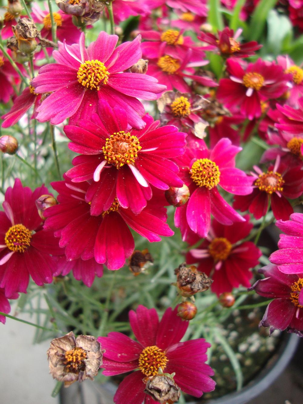 Photo of Hybrid Tickseed (Coreopsis 'Cranberry Ice') uploaded by Paul2032