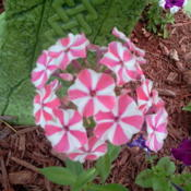 Location: my gardenDate: 2013-07-23 first yr bloom