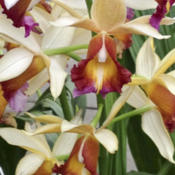 Location: Bronx NYDate: April 2013NY Botanical Gardens Orchid Show