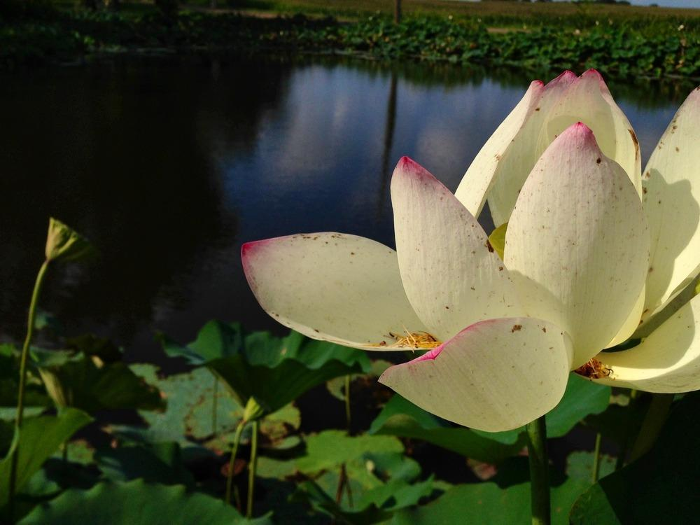 Photo of American Lotus (Nelumbo lutea) uploaded by clintbrown