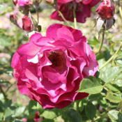 Location: Inez Grant Parker Memorial Rose GardenDate: Aprilcredit: Captain-tucker