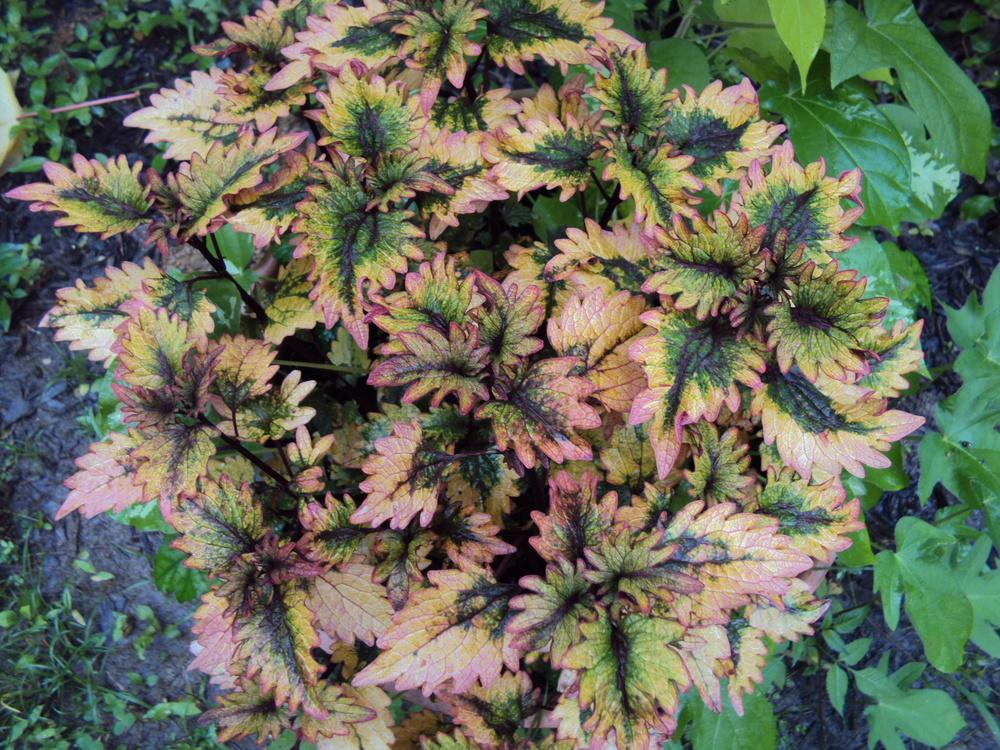 coleus plant care and collection of varieties  garden, Beautiful flower