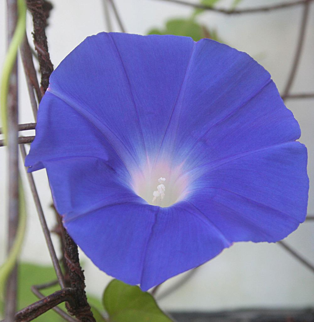 Photo of Japanese Morning Glory (Ipomoea nil 'Yoi no Tsuki') uploaded by luvsgrtdanes