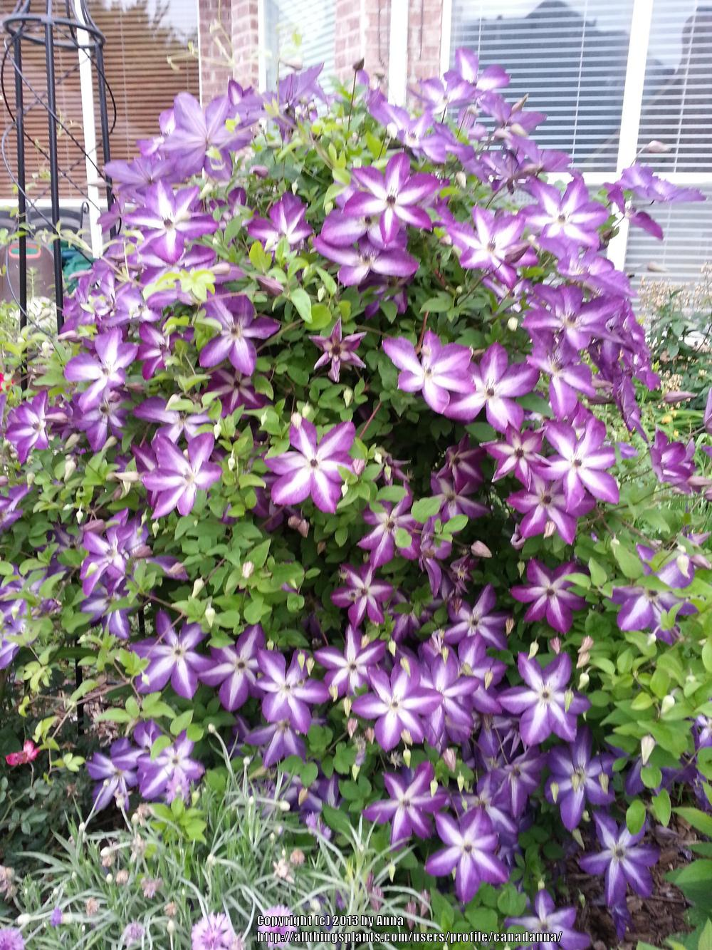 Photo of the entire plant of clematis clematis viticella - Clematis viticella ...