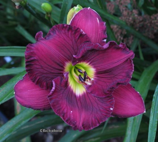 Photo of Daylily (Hemerocallis 'Imperial Decree') uploaded by Char