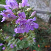 "Location: Denver Metro CODate: 2013-08-01You can see into the ""throat\"" of this penstemon"