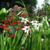 With Crocosmia 'Emberglow'