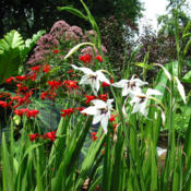 Location: z6a MA, my gardenDate: 2013-08-03With Crocosmia 'Emberglow'