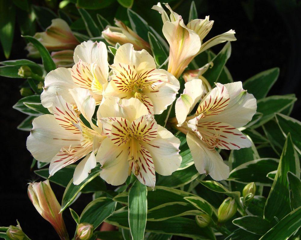 photo of the bloom of peruvian lily alstroemeria princess lilies fabiana posted by joy. Black Bedroom Furniture Sets. Home Design Ideas