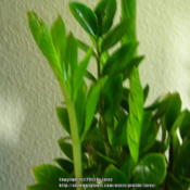 Location: At home - San Joaquin County, CADate: 2013-06-11ZZ plant new leaves forming and unfurling