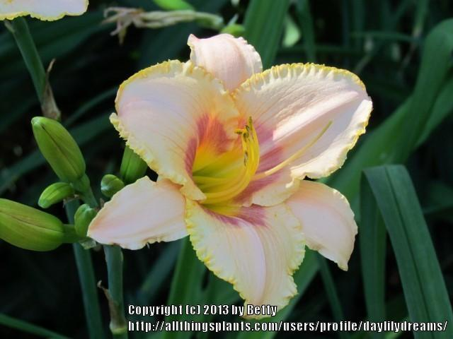 Photo of Daylily (Hemerocallis 'Bordello Queen') uploaded by daylilydreams