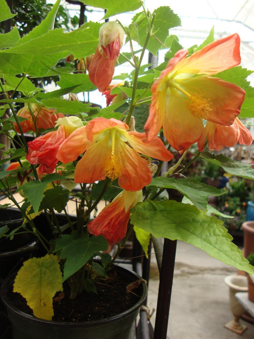 Picture of Live Flowering Maple aka Abutilon Tangerine Plant Fit 1QRT Pot
