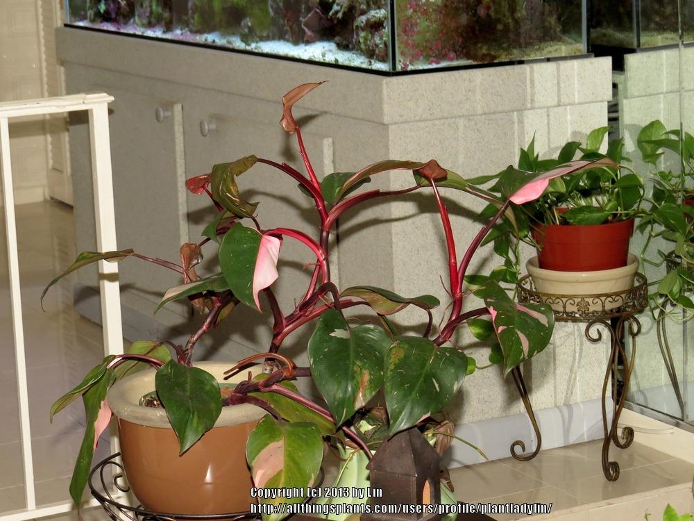 propagation forum pink princess philodendron. Black Bedroom Furniture Sets. Home Design Ideas
