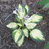 Location: Ottawa, ONDate: 2013-07-11bloom on 'Eleanor Lachman' - plant acquired July 2012
