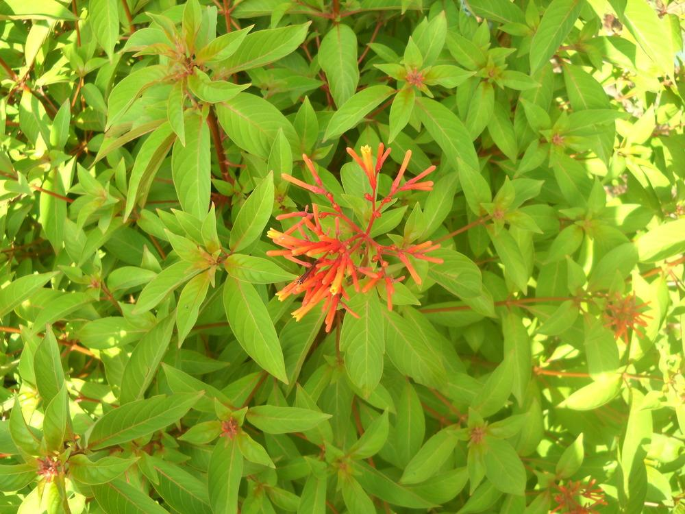 Photo of Firebush (Hamelia patens) uploaded by Katie
