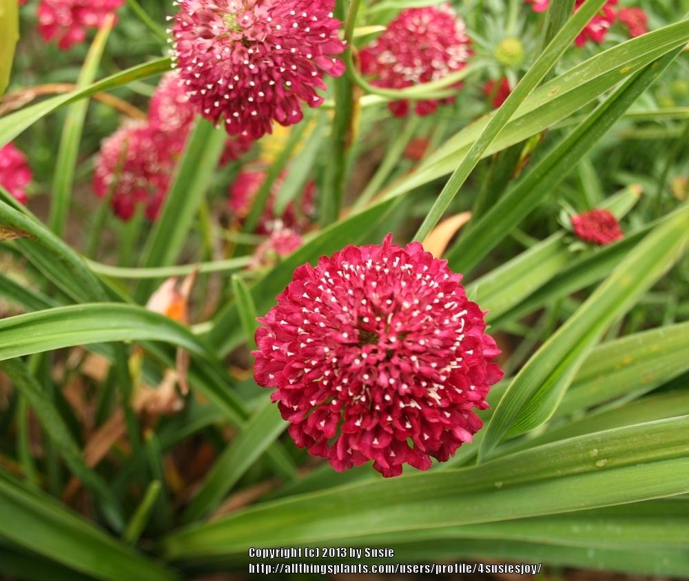 Photo of Pincushion Flower (Sixalix atropurpurea subsp. atropurpurea 'Summer Sundae') uploaded by 4susiesjoy