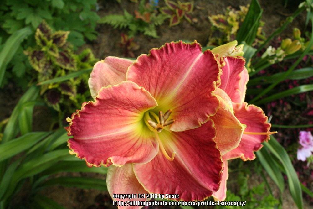 Photo of Daylily (Hemerocallis 'Northern Rose') uploaded by 4susiesjoy