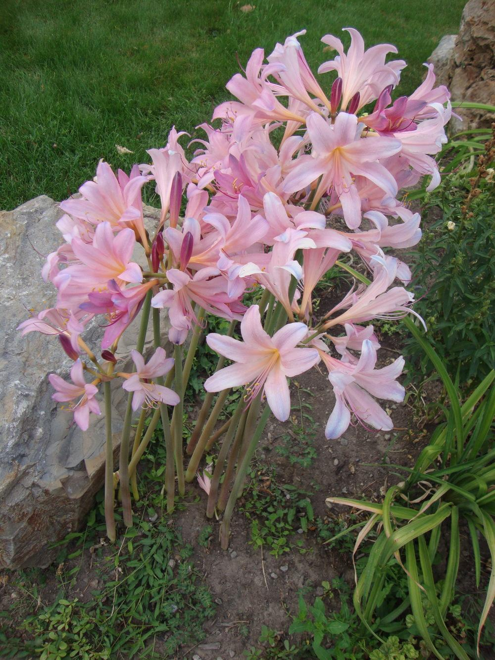 Photo of Surprise Lily (Lycoris squamigera) uploaded by Paul2032