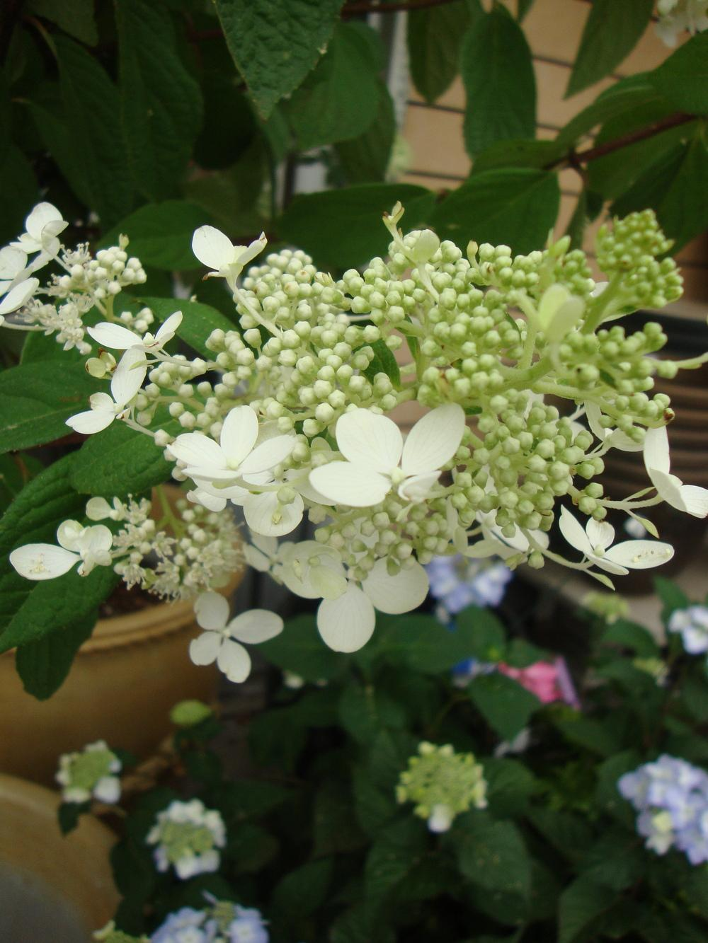 Photo of Panicle Hydrangea (Hydrangea paniculata 'Pink Diamond') uploaded by Paul2032