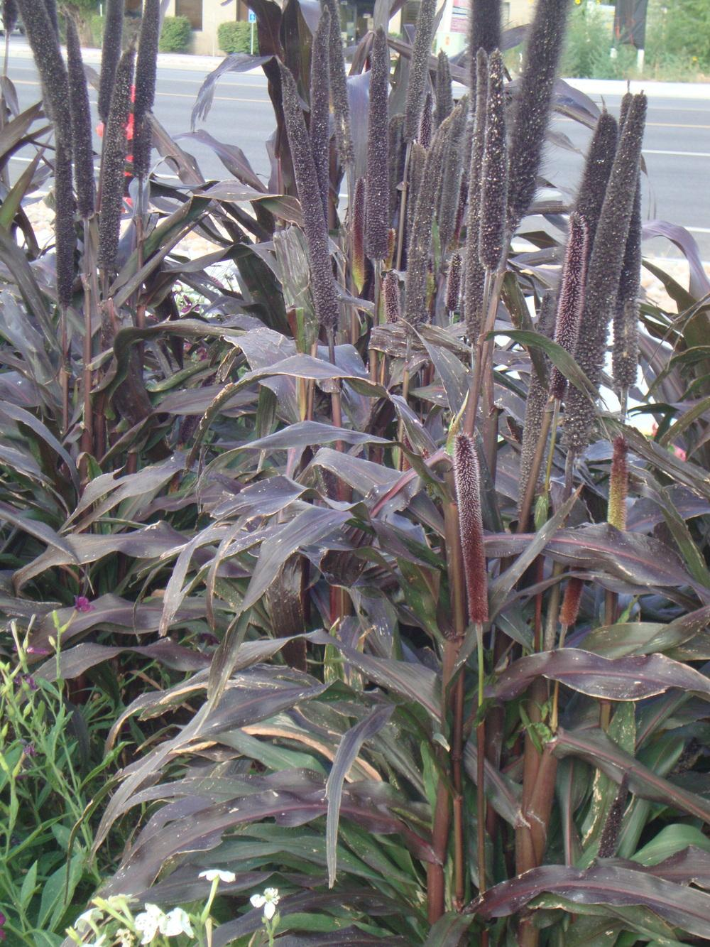Photo of Pearl Millet (Cenchrus americanus 'Purple Majesty') uploaded by Paul2032