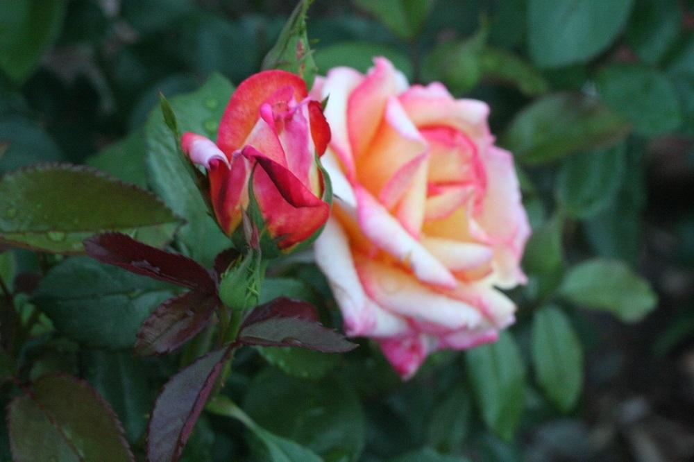 Photo of Rose (Rosa 'Sheila's Perfume') uploaded by Skiekitty