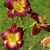 Date: 2013-08-09Fantastic scapes on this daylily!