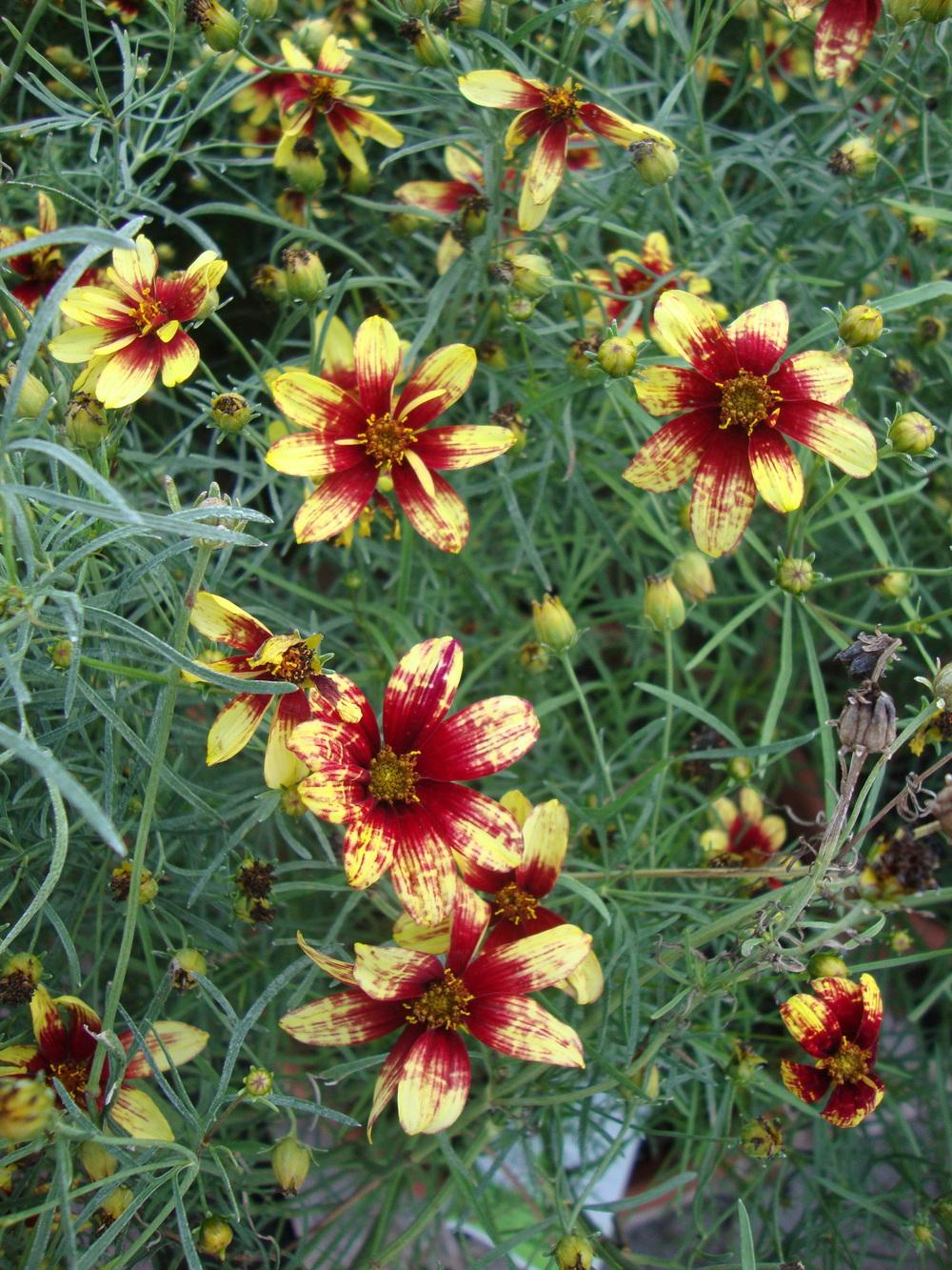Photo of Longstalk Tickseed (Coreopsis Big Bang™ Cosmic Eye) uploaded by Paul2032