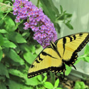 Location: My GardensDate: August 5, 2013Nanho Blue With Guest #Pollination #Butterflies
