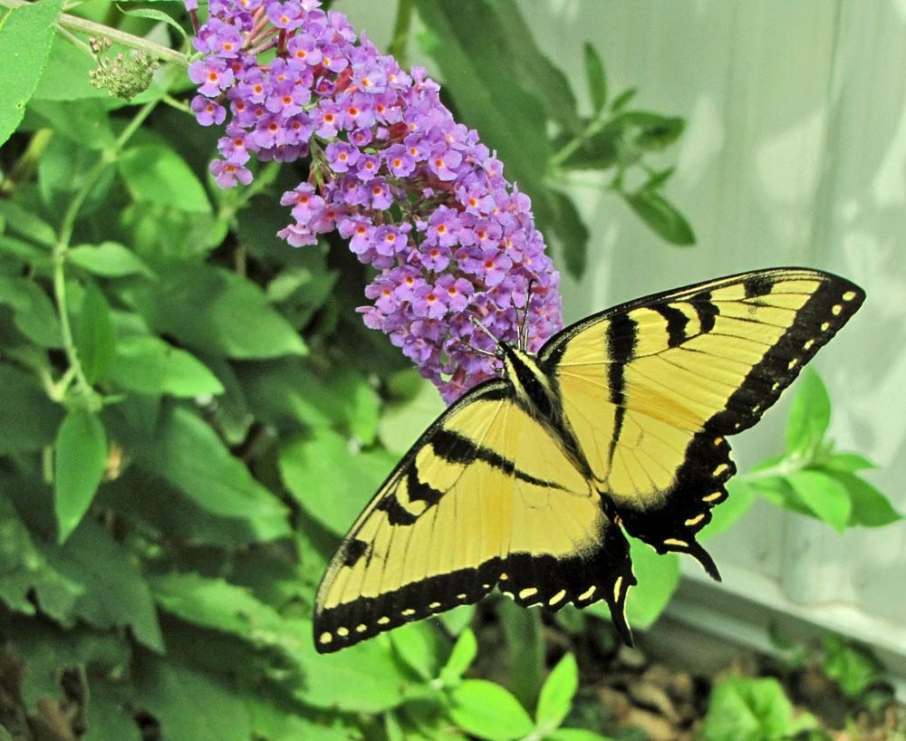 Butterfly Bushes: Plant Care And Collection Of Varieties