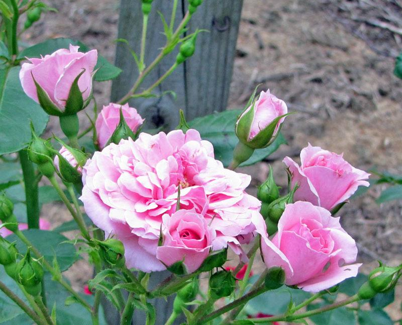 Photo of Rose (Rosa 'Royal Bonica') uploaded by TBGDN