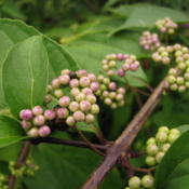 Location: Elberfeld, IndianaDate: 2013-08-13Berries are beginning to turn from green to lavender pink in mid