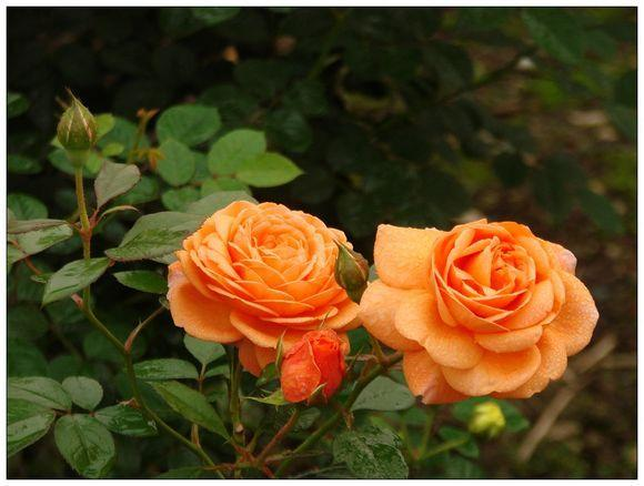 Photo of Rose (Rosa 'Crown Princess Margareta') uploaded by farmwind