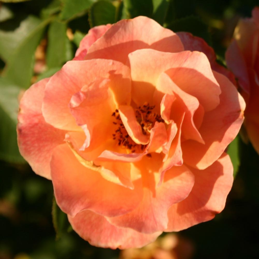 Photo of Rose (Rosa 'Easy Does It') uploaded by jon