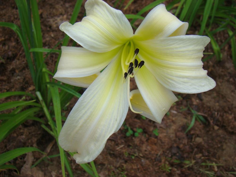 Photo of Daylily (Hemerocallis 'Isabelle Rose') uploaded by nh4me