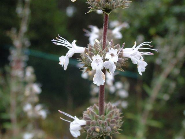 Photo of Salvias (Salvia) uploaded by vic