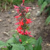 Courtesy Robin's Salvias