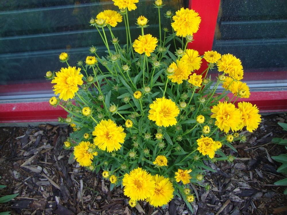 Photo of Tickseed (Coreopsis 'Jethro Tull') uploaded by Paul2032