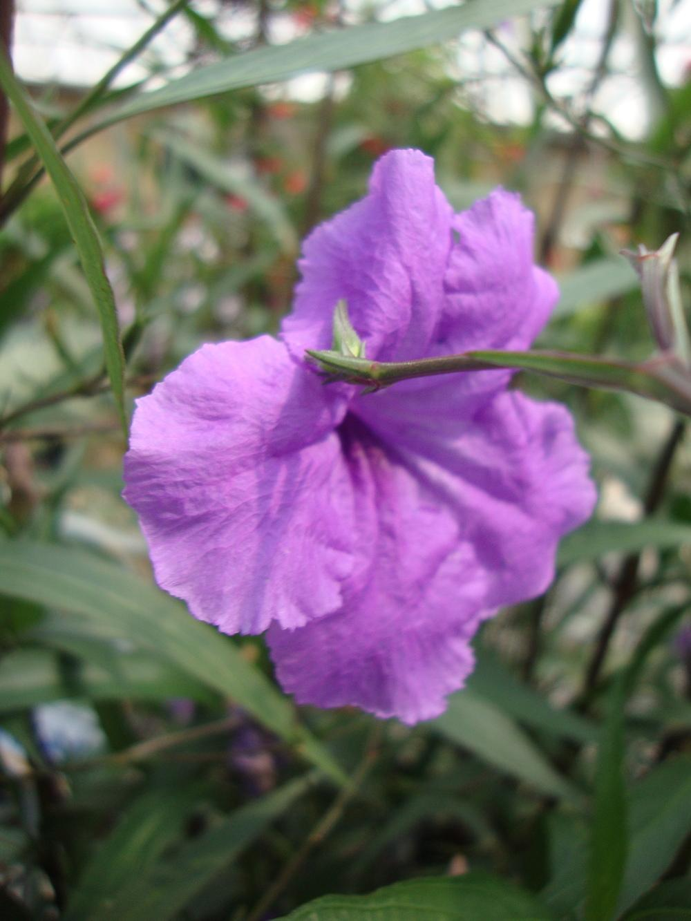 Photo of Mexican Petunia (Ruellia simplex) uploaded by Paul2032
