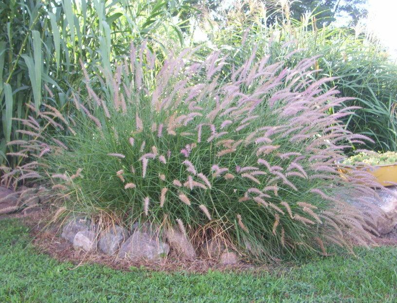 Photo of the entire plant of ornamental grass pennisetum for Oriental grass