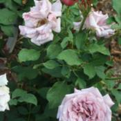 Location: Denver Metro CODate: 2013-08-16You can see all the phases of rose color on this one wi