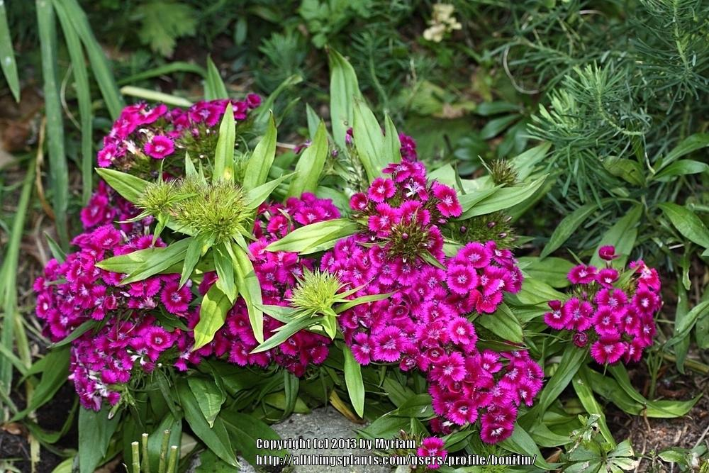 Photo of Sweet William (Dianthus barbatus) uploaded by bonitin