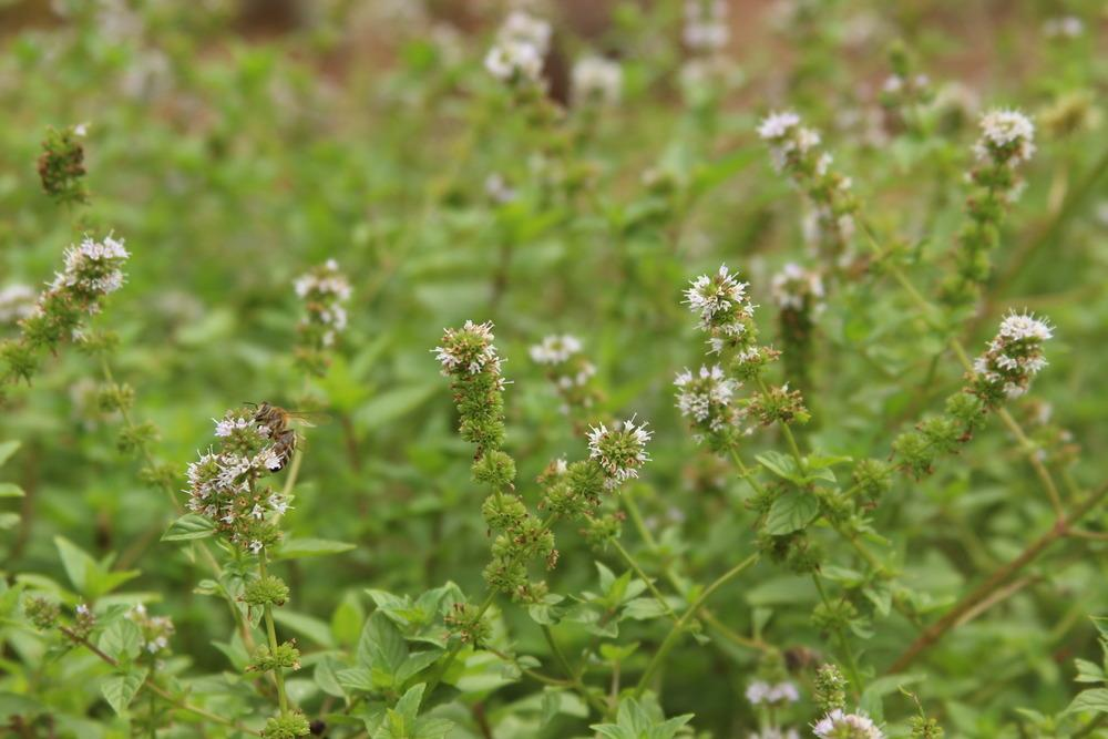 Photo of Mints (Mentha) uploaded by dave