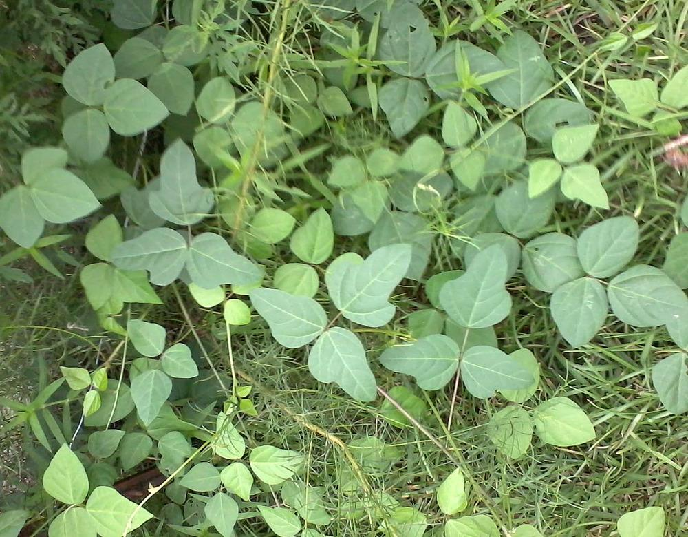 plant id forum what type of weeds is this poison ivy or safe. Black Bedroom Furniture Sets. Home Design Ideas